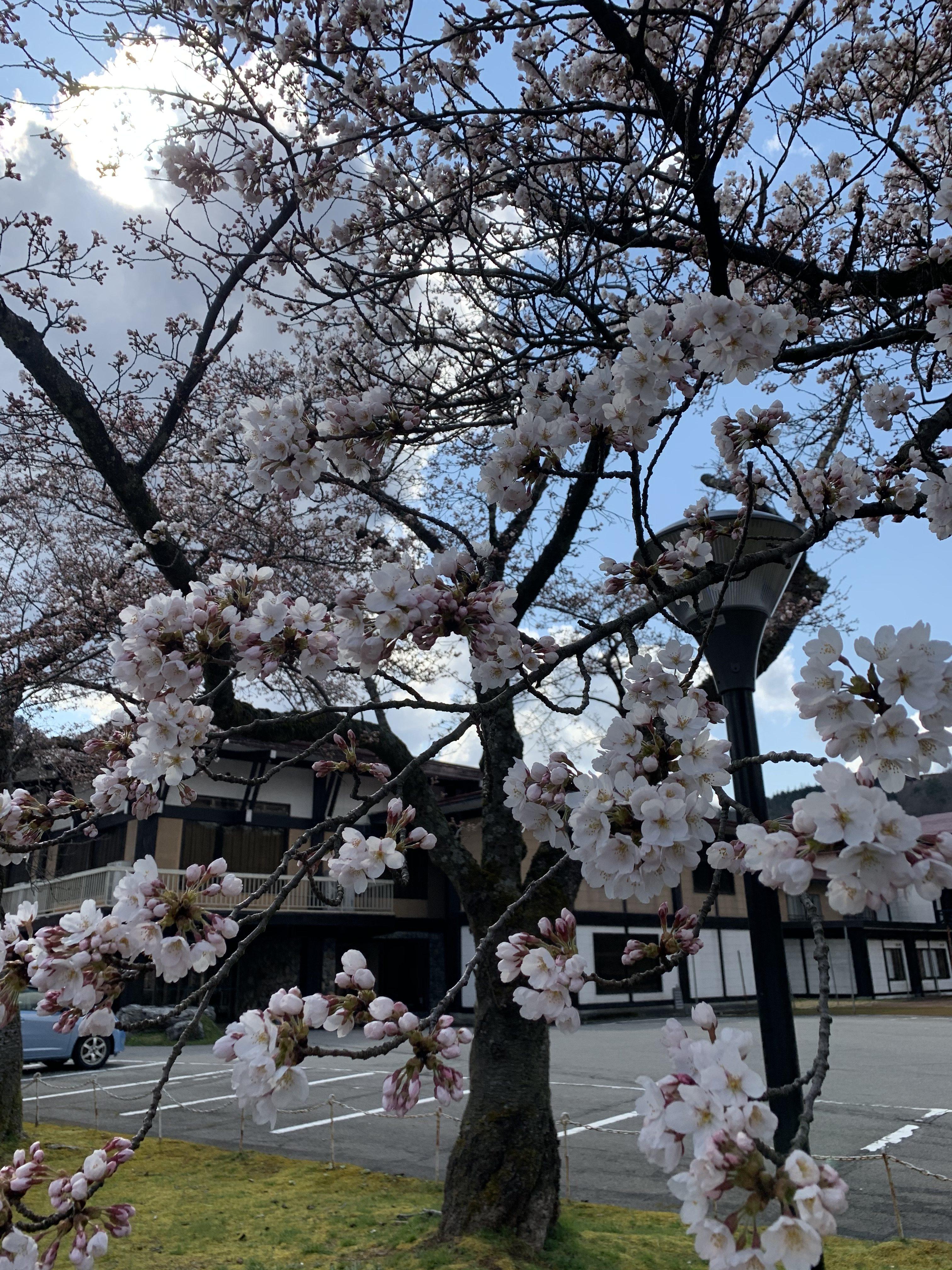 角神の桜情報!!